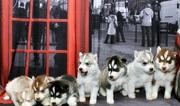 Мужчины и Женщины Синие глаза Сибирский хаски щенки.