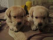 Продаются щенки лабрадора-ретривера рожденные 23.07.15