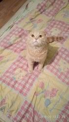 Кот на вязку кот кремовый